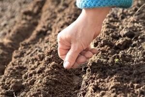 Выращивание редиса в тепличных условиях. Секреты посадки
