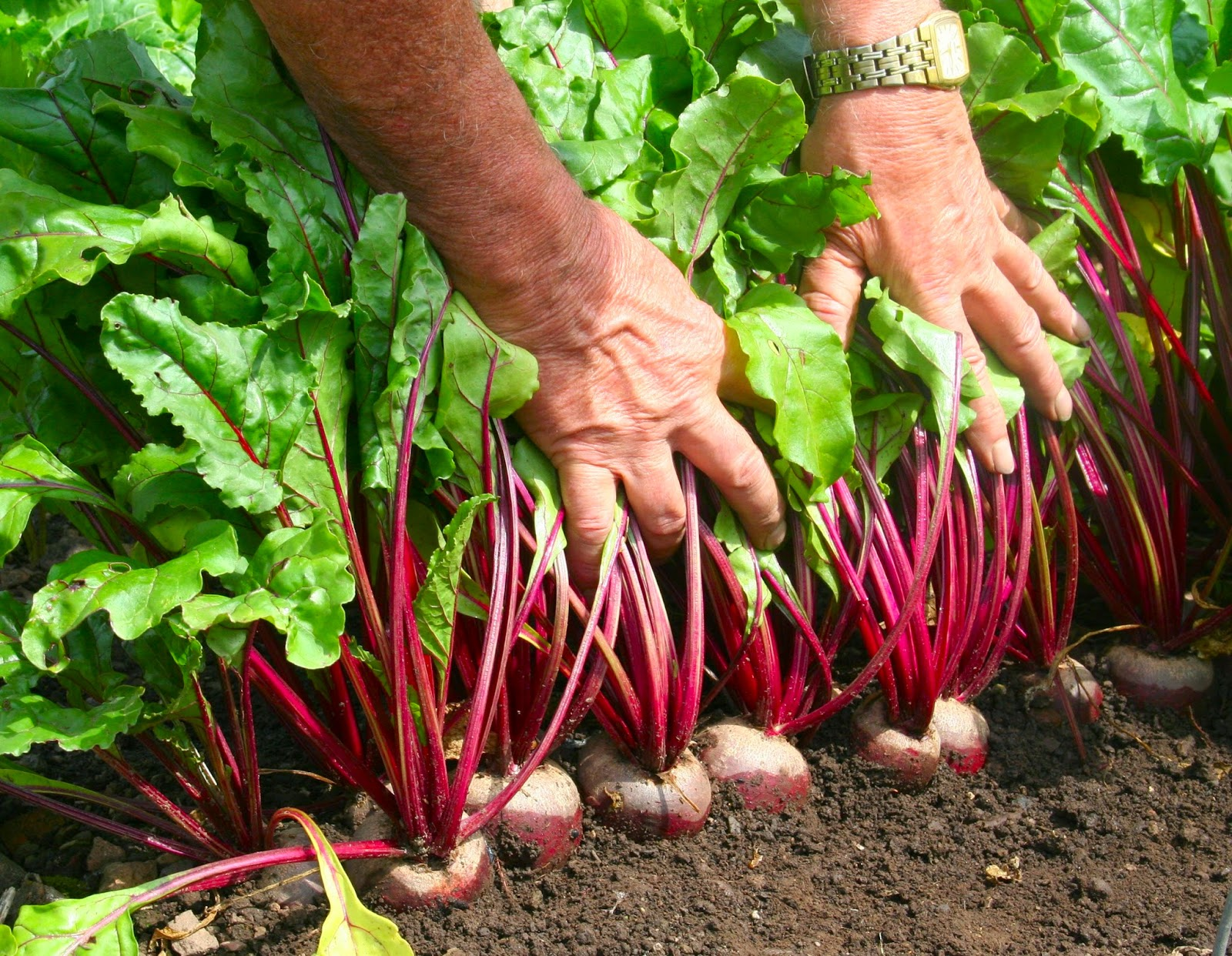 Агротехника выращивания свёклы. Посадка свёклы семенами 70