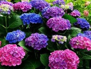 Когда и как пересаживать гортензию: агротехника, цветы