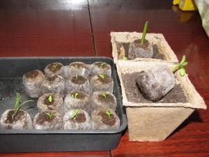 Гербера садовая: посадка и уход и выращивание
