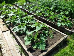 Выращивание кабачков в коробах