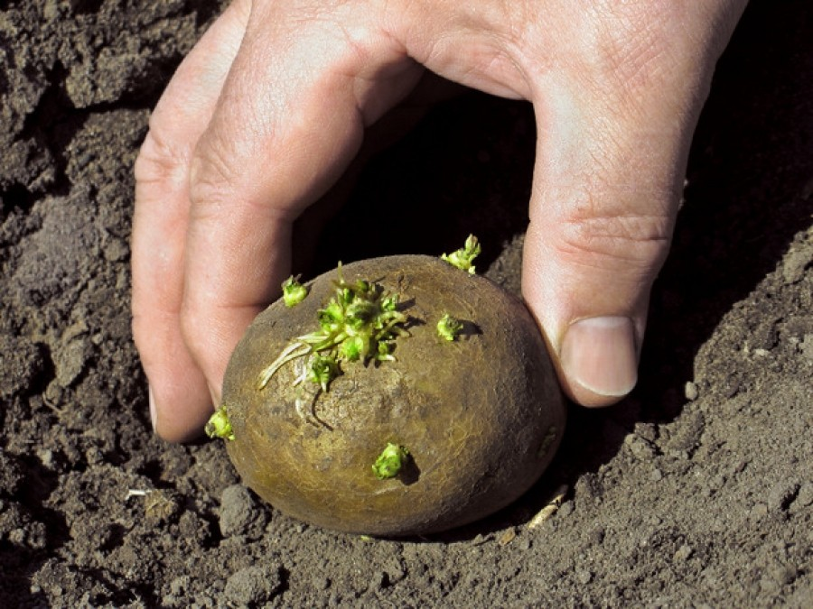 Можно ли сажать картофель в 78