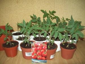 Помидоры черри – выращивание и уход