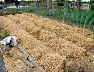 Как сажать картошку под лопату и под солому
