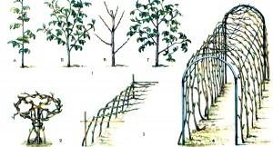 Штамбовая малина: посадка, уход, сорта