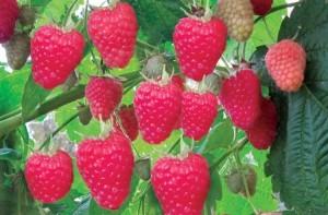 Лучшие высокоурожайные сорта ремонтантной малины для Подмосковья