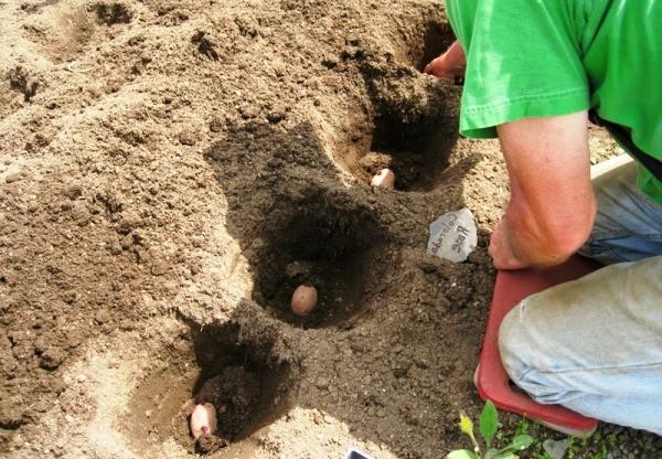 Чем удобрять картофель при посадке в лунку