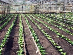 Безрассадное выращивание пекинской капусты в тепличных условиях