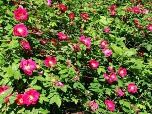 Красивые парковые розы: сорта для Подмосковья (фото)