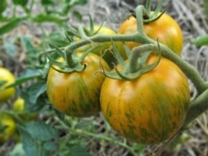 Сорта томатов сибирской селекции 2016