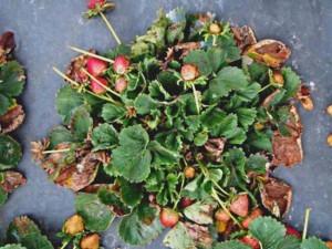 Обработка земляники весной от болезней и вредителей