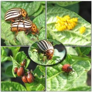 Как бороться с колорадским жуком? Методы борьбы