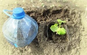 Посадка огурцов в пластиковые бутылки