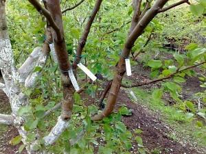 прививки деревьев