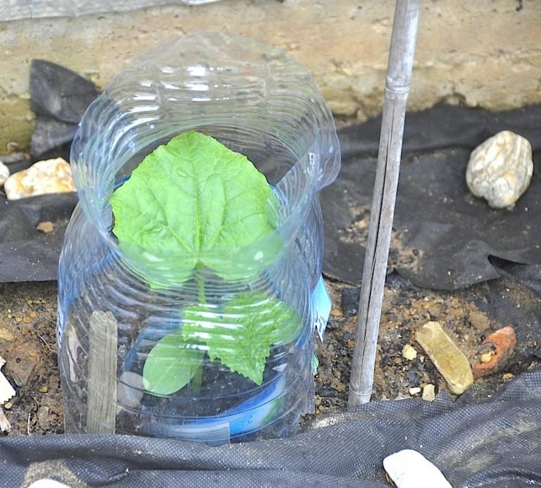 Выращивание огурцов в пластиковых 5 литровых бутылках выращивание 95