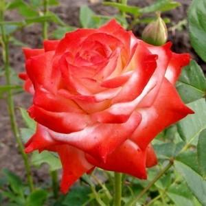Чайно-гибридная роза Императрица Фарах: описание сорта, отзывы
