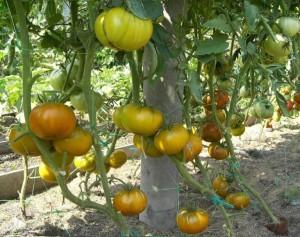 Томат Малахитовая шкатулка зеленоплодный помидор