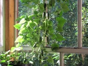Огурцы на подоконнике зимой: лучшие сорта, особенности выращивания
