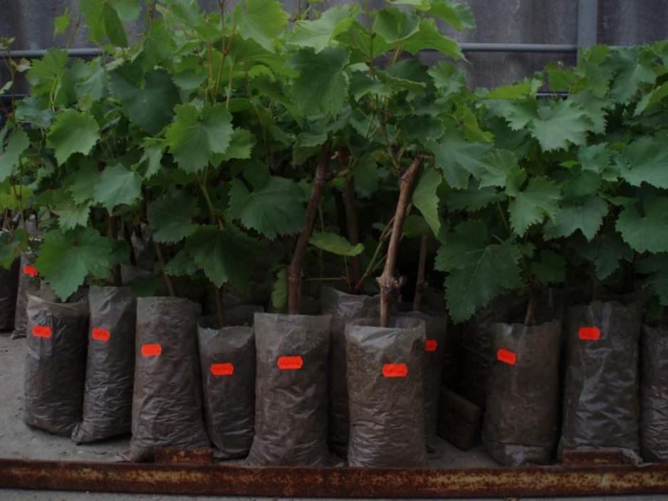Как выбрать саженцы столовых сортов винограда