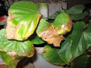 Почему желтеют листья у каланхоэ? Уход за комнатными растениями