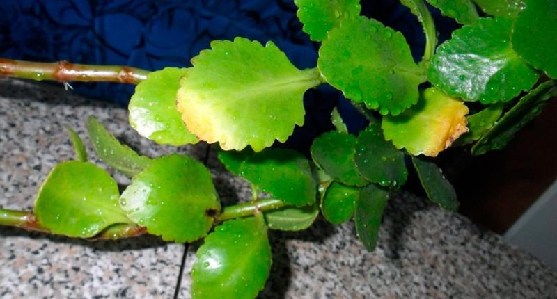 Почему желтеют листья у каланхоэ