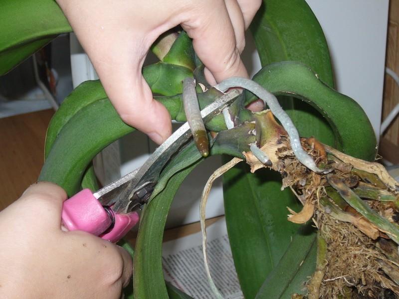 Как отсадить отростки орхидеи
