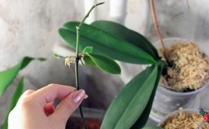 разведение орхидеи