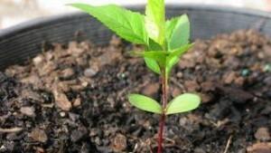 размножение яблонь с использованием семечка
