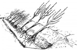 прикапывание яблонь