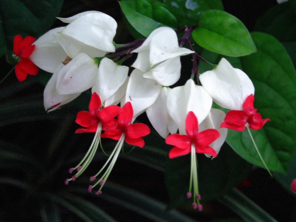 Белый цветок с красными серединками
