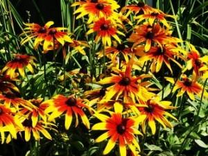 садовые цветы рудбекия
