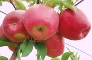 сорт Болотовское (яблоня)