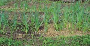 урожайность чеснока с 1 сотки