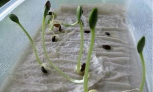 московский способ выращивания рассады