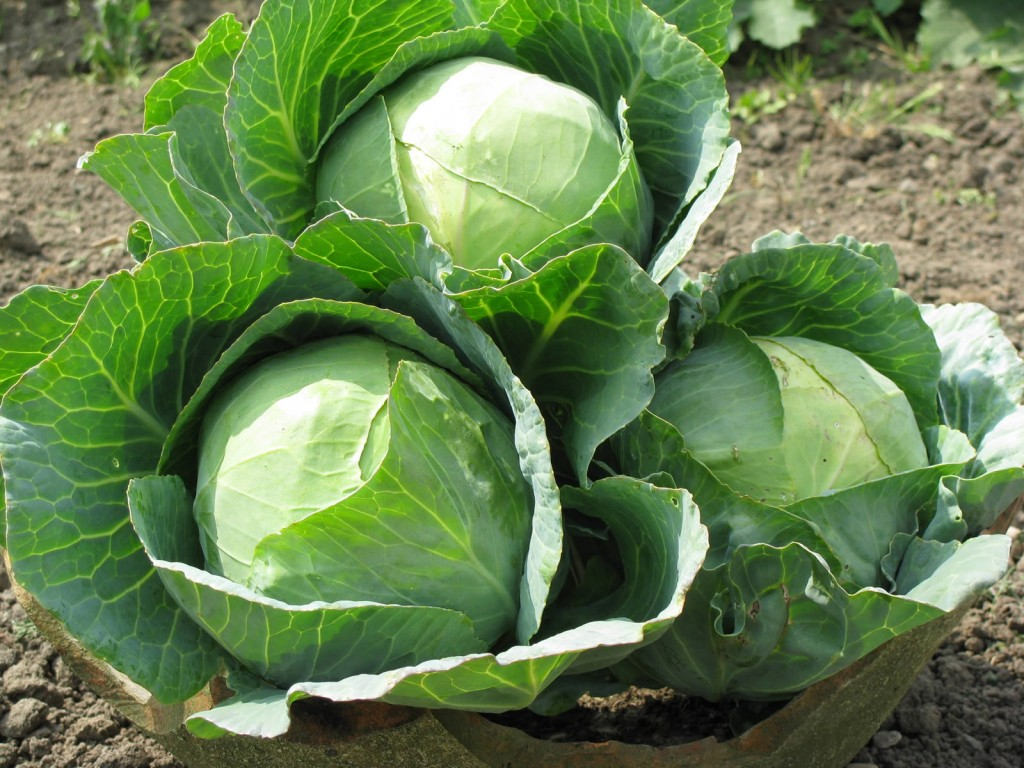 Технология выращивания ранней капусты 10