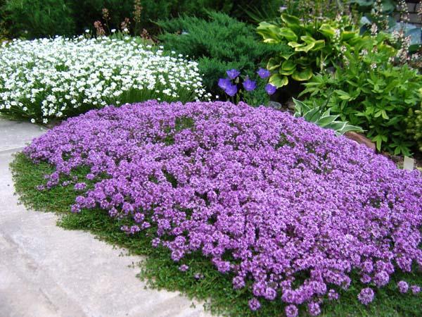 растения стелющиеся по земле