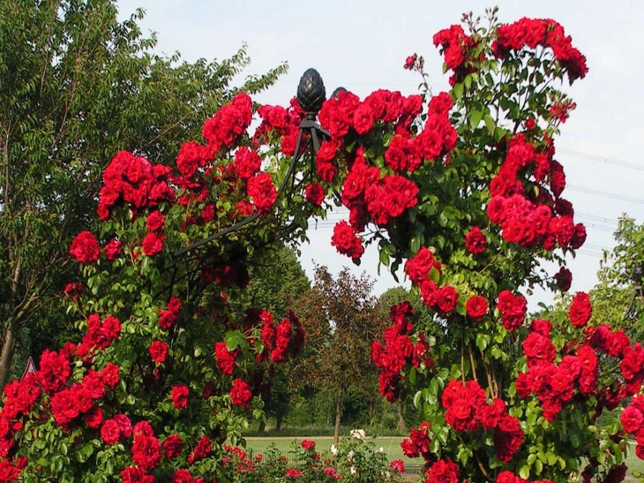 плетистая роза Амадеус