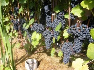 виноград память домбковской