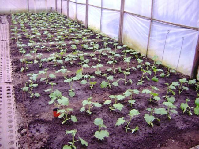 Выращивание огурцов в парниках 44