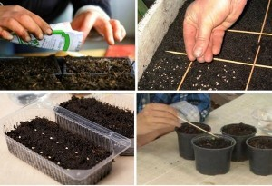 как сажать помидоры на рассаду