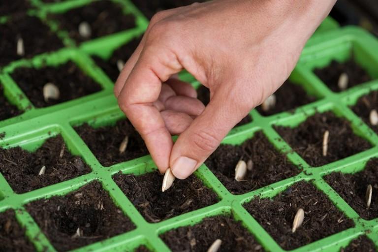 Как сажают семя кабачка 250