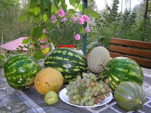 Как вырастить арбуз и дыню в Беларусии и России в открытом грунте правильно?