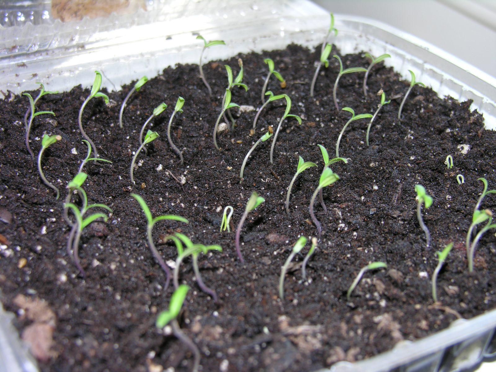 Когда и как пикировать томаты? Пересадка рассады 9
