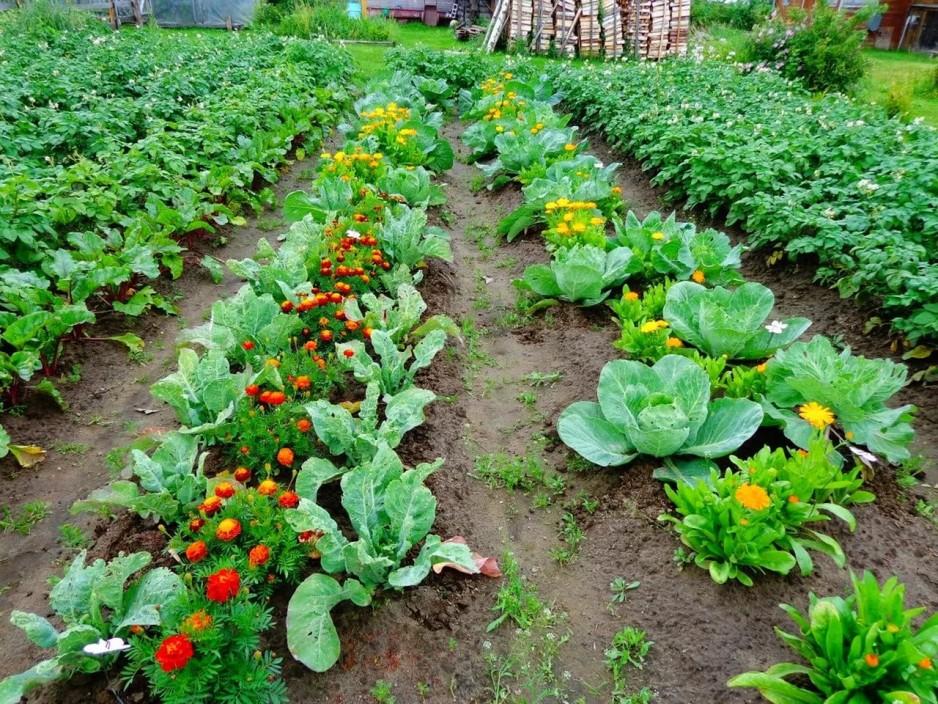 совместимость овощей на грядках