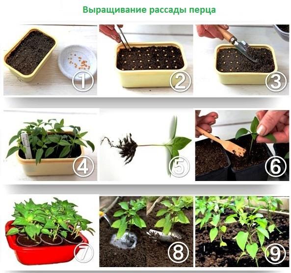 Перец на рассаду как правильно посадить 5