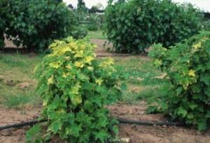 Чем подкормить кусты смородины и крыжовника весной