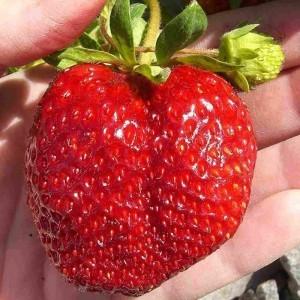 Сорт клубники Машенька: описание, уход, выращивание