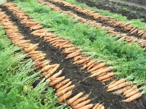 Посадка моркови на Урале: сроки. Морковь: выращивание на Урале