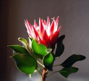 Цветок протея: африканская роза