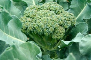Как вырастить брокколи в открытом грунте: описание